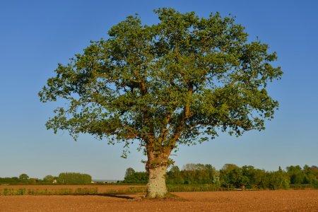 Photo pour Vue de campagne des terres agricoles labourées avec un chêne solitaire et ciel bleu au-dessus - image libre de droit