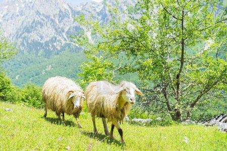 Sheeps at a pasture in Valbona, Albanian Alps....