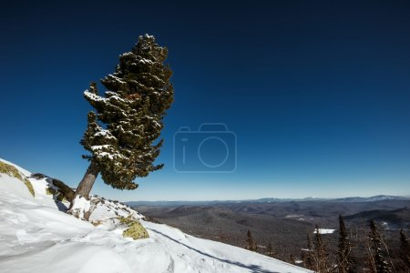 Lonely fir tree on top