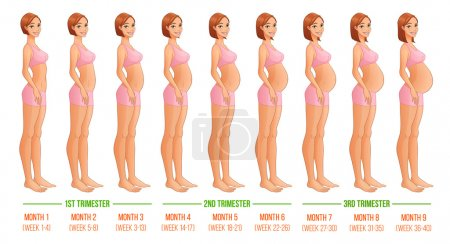 Illustration for Nine months of pregnancy progression. Vector illustration isolated on white backgeound. - Royalty Free Image