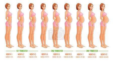 Nine months of pregnancy progression. Vector illustration.