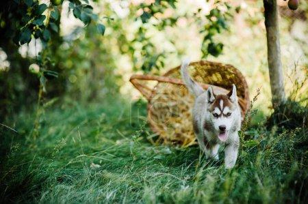 husky puppy with basket