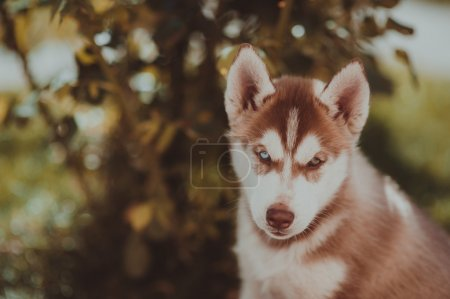 husky puppy playing outdoors