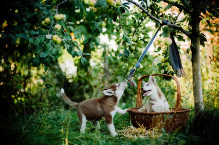 two cute little husky puppies