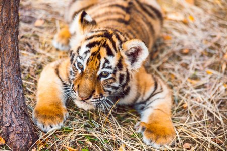 A close-up of a female tiger cub (Panthera tigris altaica) running in the grass