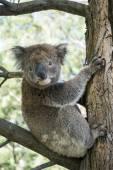 Koala sitting on tree