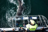 Great white shark attacking cage