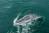 Great White shark breaching the water