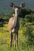 Puku deer in Africa