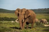 Big Elephant on grassy terrain