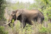 Elephant eating some branches
