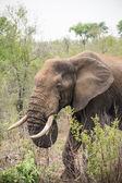 Head of African elephant