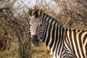 Zebra in Kruger Park