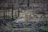 Leopard relaxing between bushes