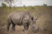 Rhino on african savannah