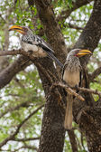 Two african birds on branches