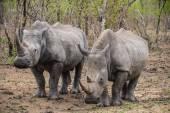 Rhinos on african savannah