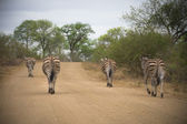Zebras walking away