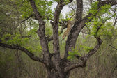 African Leopard crawling on tree