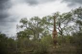 Single giraffe standing