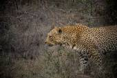 Male adult leopard on the prowl