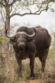 Powerful African Buffalo