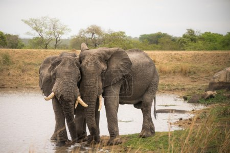 Two elephants standing at water hole surrounded by...