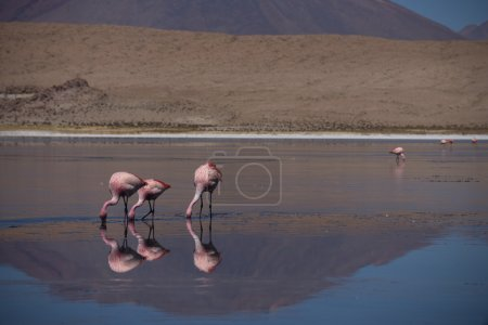 Pink flamingos feeding in the salt water
