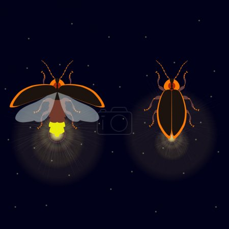 Firefly with open and closed