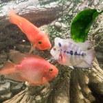 Red Hybrid Parrot Cichlid in aquarium. High qualit...