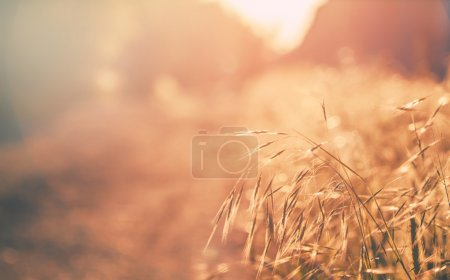 Photo for Summer background, landscape at sunset, grass in backlight, blurred image with the effect of motion, shallow depth of field - Royalty Free Image