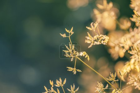 Summer background, grass at sunset