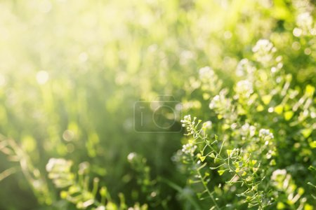 Photo for Summer background, grass at sunset, backlit with natural bokeh, blurred image, selective focus - Royalty Free Image
