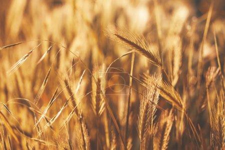 Photo for Spikelets gold color, backlit, natural summer background, blurred image, selective focus - Royalty Free Image