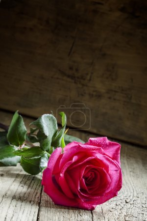 Beautiful pink rose with water droplets on the petals