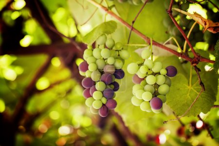 Ripening grapes on the vineyard, natural summer background