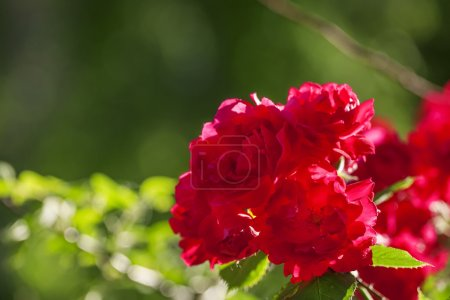 Summer background with blooming rose bush