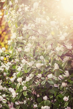 Photo for Blossoming apple tree, spring blurred background, toned image, selective focus - Royalty Free Image