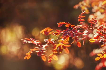 Photo for Autumn natural background, leaves on the branches, selective focus - Royalty Free Image