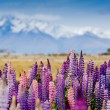 Постер, плакат: Tekapo lake with lupins blooming