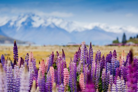 lupins blooming in New Zealand