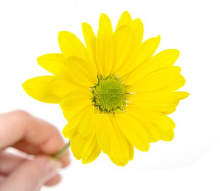 Yellow chrysanthemum flower in hand