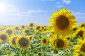 Pole slunečnic v horkém letním dni