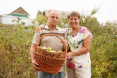Šťastný pár s letošní bohatou sklizeň. Šťastný starší pár s košíkem hrušek v zahradě