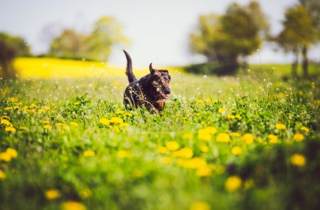 dog having fun in field of springtime buttercups