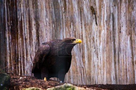 Bald Eagle resting