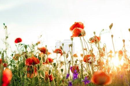 Beautiful poppy flower in the sky.