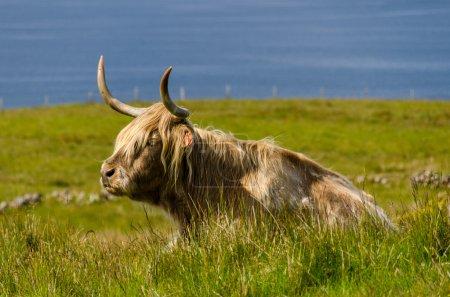 Photo for Highland Cattle on grass, Isle of Skye, Scotland - Royalty Free Image