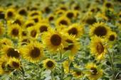 Italský slunečnice v poli v Umbrii
