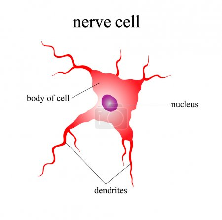 Illustration of the human nerve cell on a white ba...